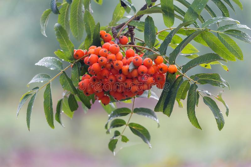 Bunch of mountain ash in the rain close-up. Nature stock photo