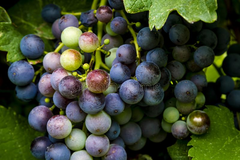 Wine grapes hanging in vineyard. Bunch of multi-colored red wine grapes hanging on the vine royalty free stock photo