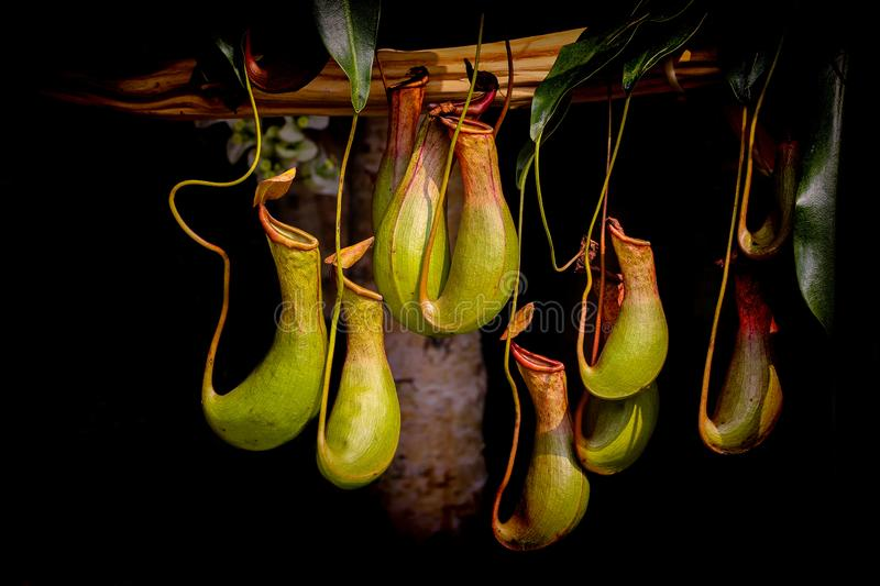 Bunch of nepenthes, commonly known as tropical pitcher plants. Nepenthes, commonly known as tropical pitcher plants are a genus of carnivorous plants found stock image