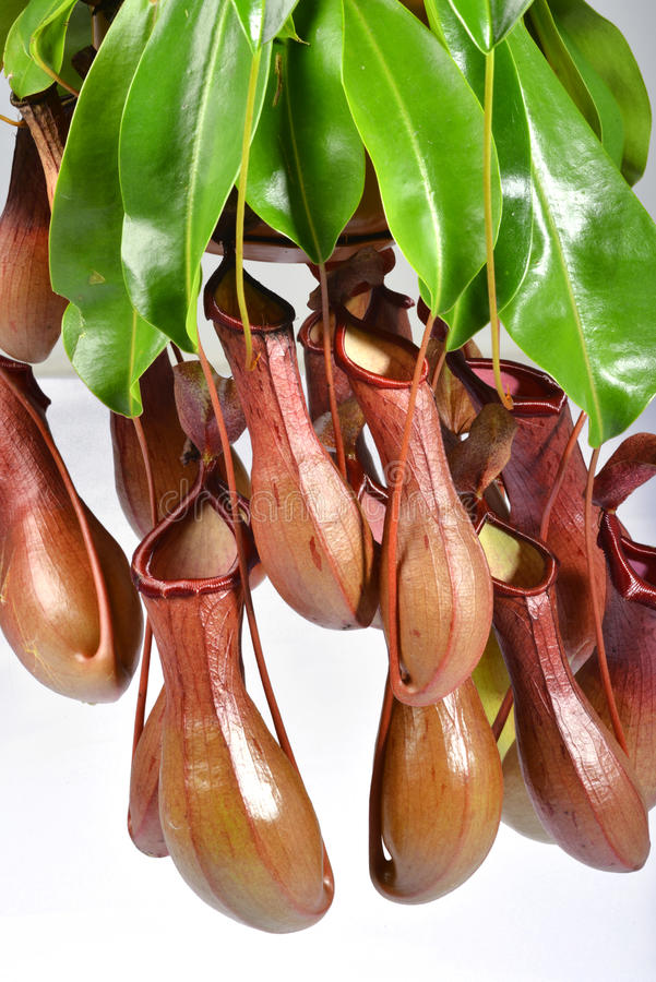 A bunch of Nepenthes. Isolated on a clear white background royalty free stock photo