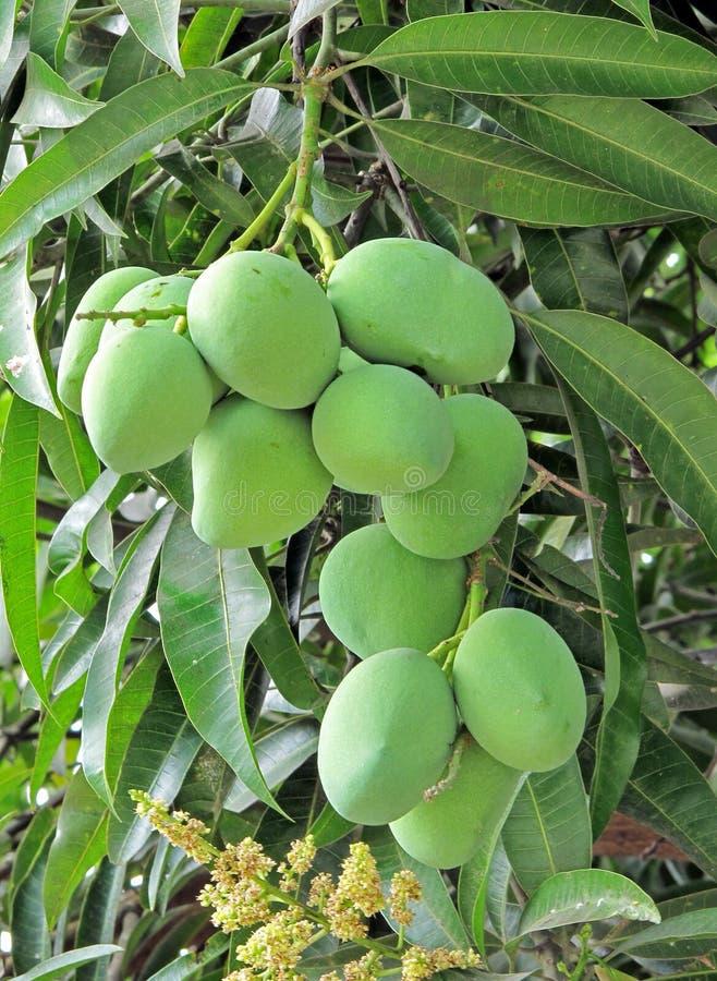 Free Bunch Of Mango Stock Image - 14285071