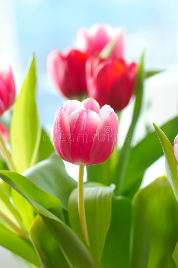 Free Bunch Of Tulip Flowers Stock Image - 3516231