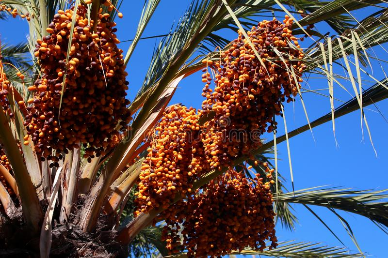 Orange Berries growing on a Palm Tree stock photography