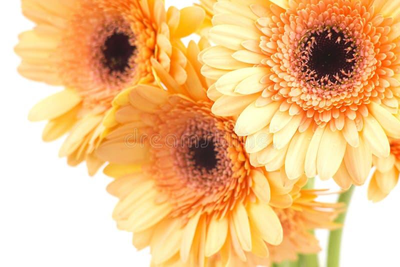 Bunch of orange gerbera daisies stock photo