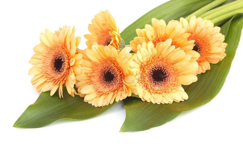 Bunch of orange gerbera daisies royalty free stock photos