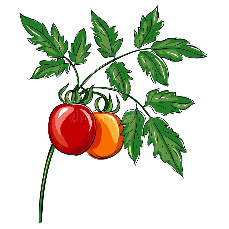 Bunch of organic tomatoes on the plant, on white background.Печать stock illustration
