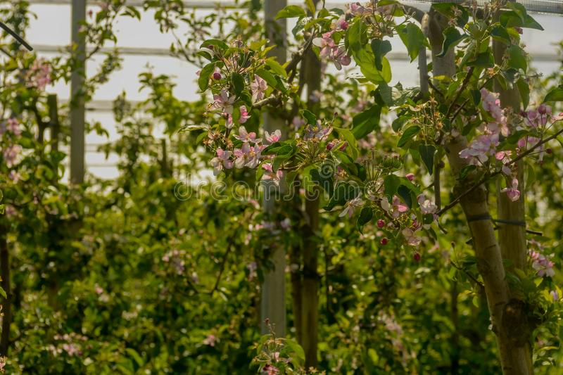 Bunch of Pear blossoms on farm land in april. Pear blossoms on farm land in april royalty free stock images