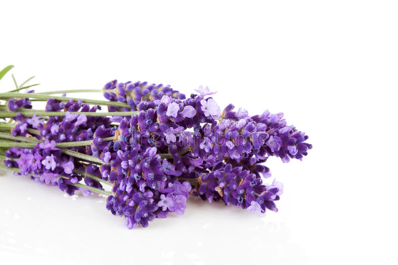 Bunch of picked lavende. R over white background royalty free stock image