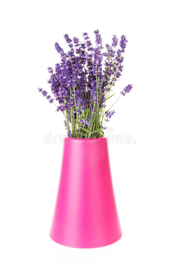 Bunch of picked lavender. Bouquet of picked lavender in vase over white background royalty free stock images