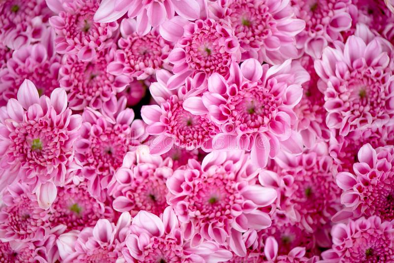 Bunch of pink chrysanthemum flowers or Thai name call Mam Chompoo. This image can be use as background of lots of pink flowers stock photo
