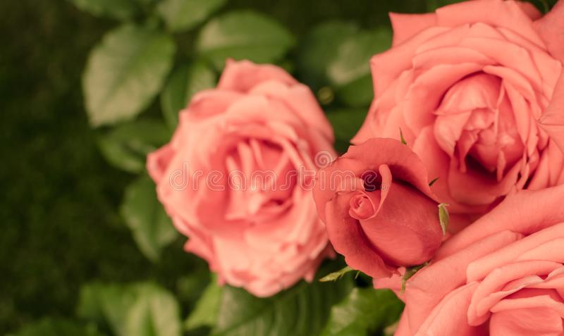 Bunch of pink coral roses in the garden.  Vintage rose background. Top view stock photo