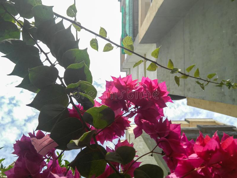 Bunch of pink flowers bloom in branch of green leaf plant grown in garden, nature royalty free stock image