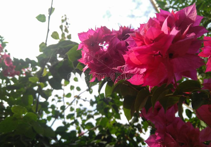 Bunch of pink flowers bloom in branch of green leaf plant grown in garden, nature stock photos