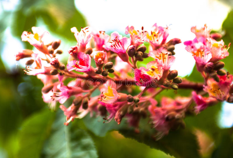 Bunch of pink flowers of the horse chestnut tree stock photo image download bunch of pink flowers of the horse chestnut tree stock photo image of mightylinksfo Gallery