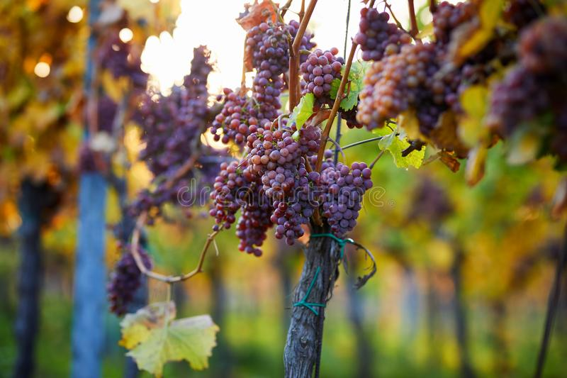 Bunch of pink grapes in the vineyard stock photos