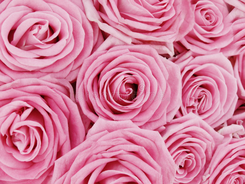 Download Bunch of pink roses stock photo. Image of delicate, fragrance - 6513990