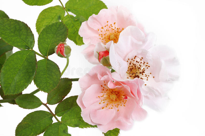 Bunch of pink roses. On white royalty free stock photo