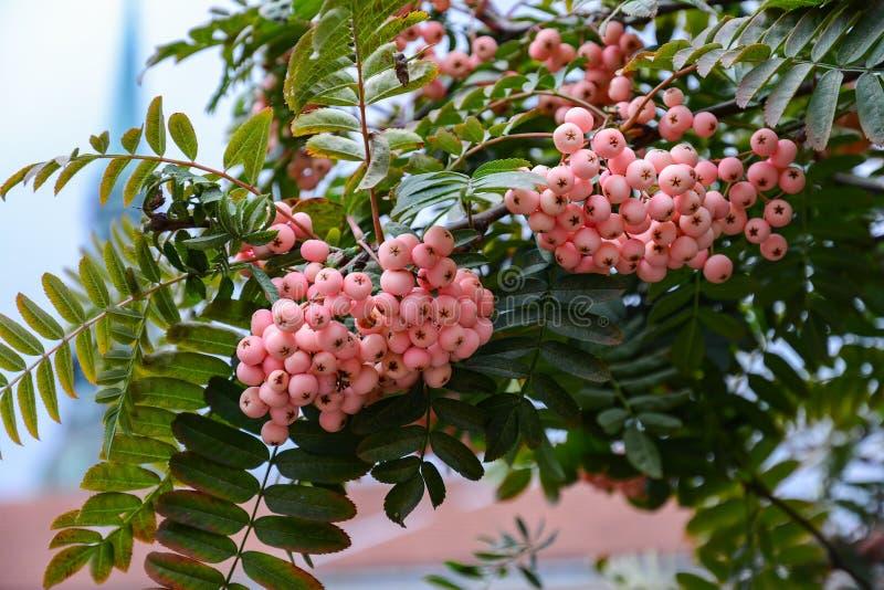 Bunch of pink rowan berries. Branch of a rowan-tree.  royalty free stock image