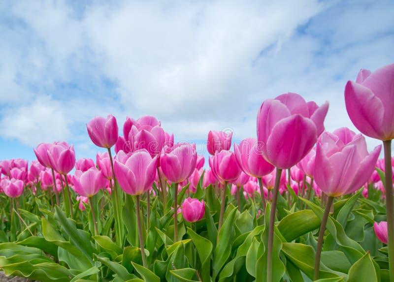Bunch of Pink Tulips stock image