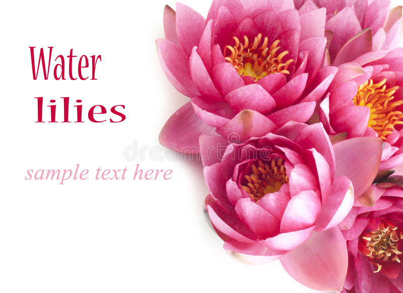 Bunch of pink water lilies stock photography