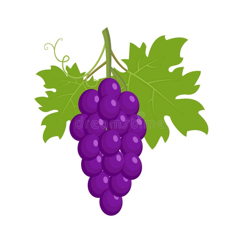 Bunch of purple grapes vector illustration