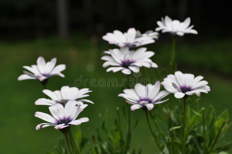 African Daisy Plant Species Osteospermum with Blooming Flowers stock photos