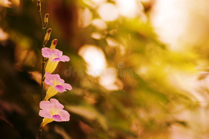 Bunch of purple wild flowers, Baya, in sunset royalty free stock photo