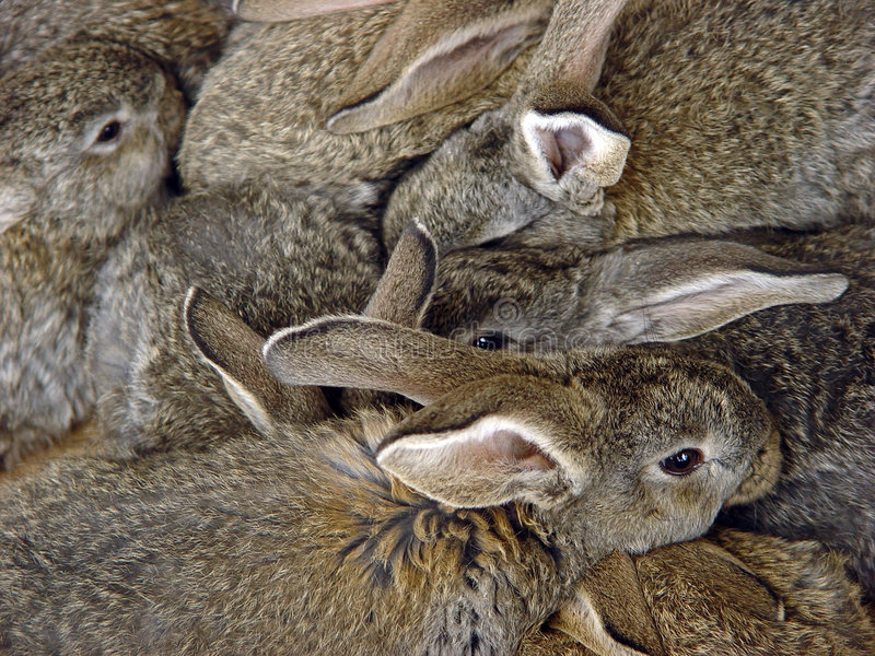 Bunch of rabbits stock photography