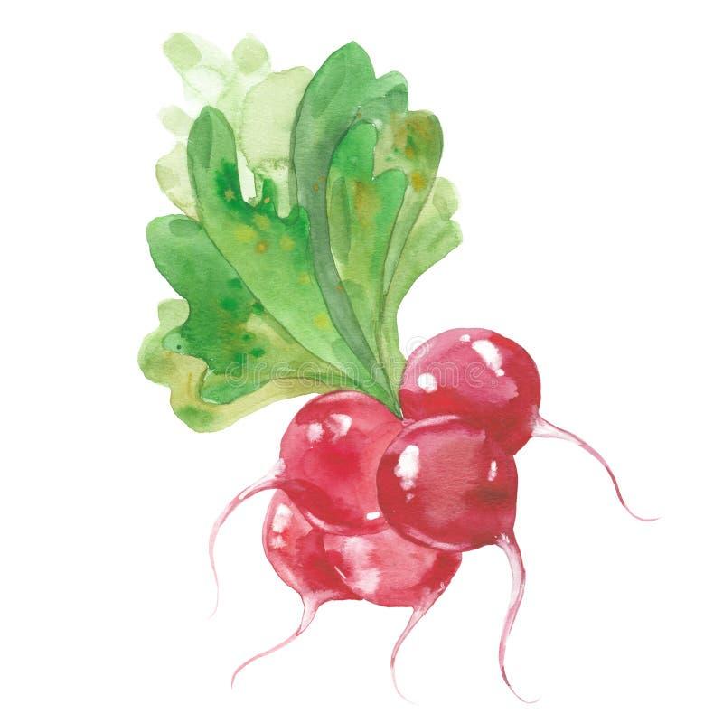 Bunch of radishes royalty free illustration