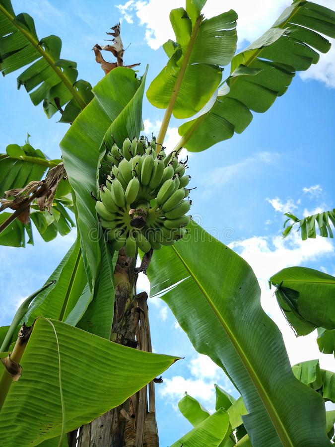 Bunch of raw green banana on tree. In organic orchard in Thailand. It is up against blue sky background royalty free stock image
