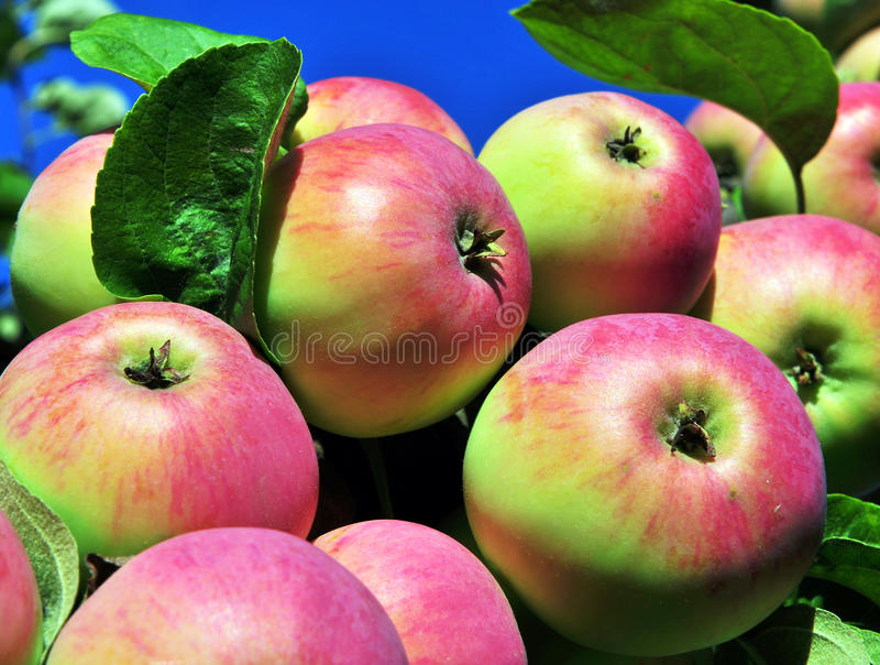Bunch of red apples. In the garden stock images