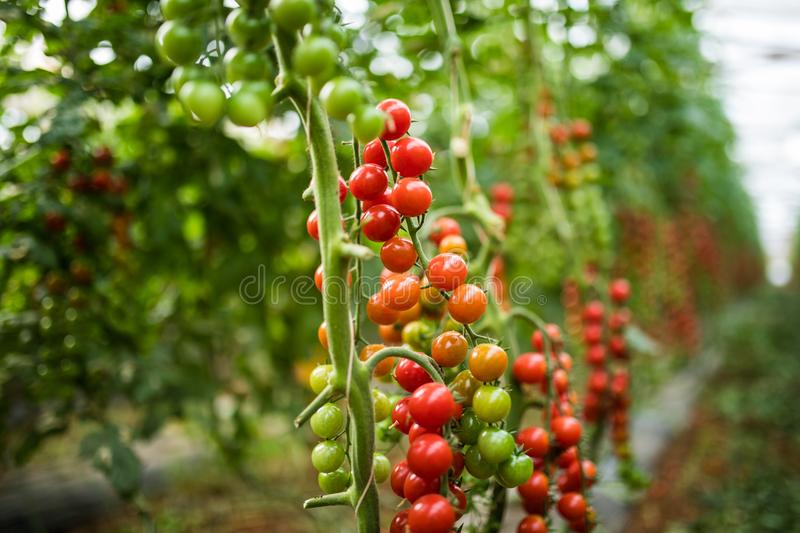 A bunch of red cherry tomato in a greenhouse. Agriculture harvest. royalty free stock images