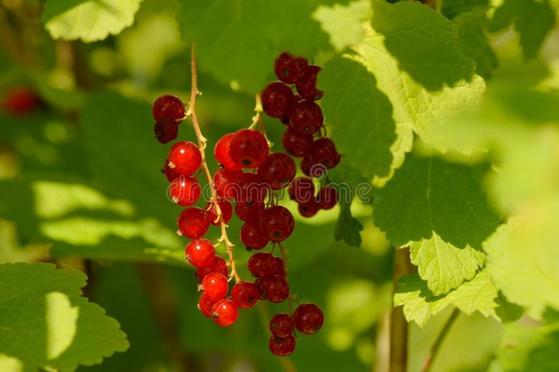 Bunch of red currant berries on green branches. With raindrops stock photography