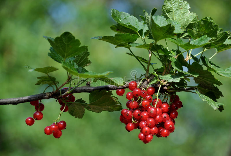 Bunch of red currants berries_5. Bunch of red currants fruit on the branch of a bush with leaves stock photo