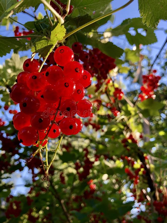 a bunch of red currants hang on a branch stock images