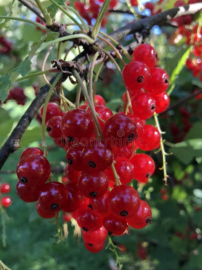a bunch of red currants hang on a branch royalty free stock photo