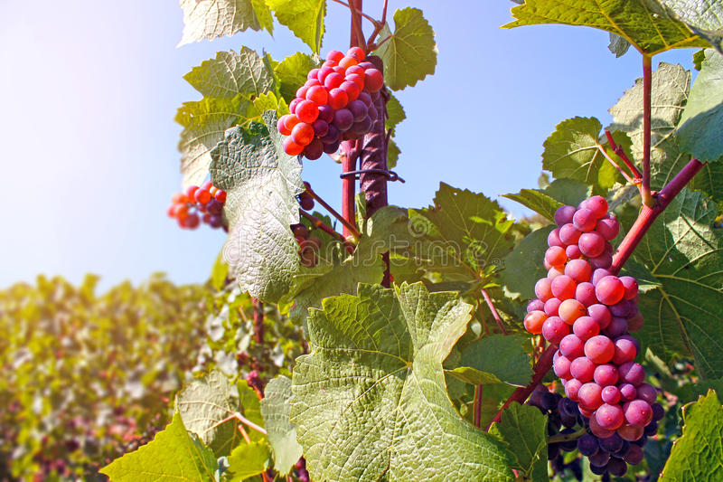Bunch of red grapes stock image