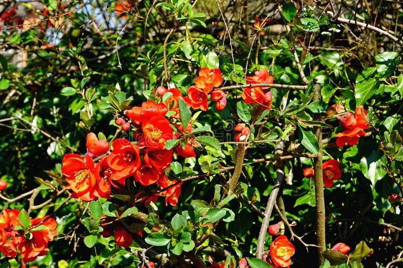 Bunch of red growing flowers on a sunny day in Luzern. stock images