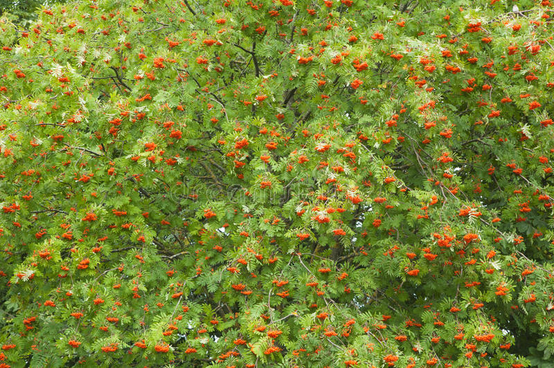 A bunch of red mountain ash royalty free stock photography