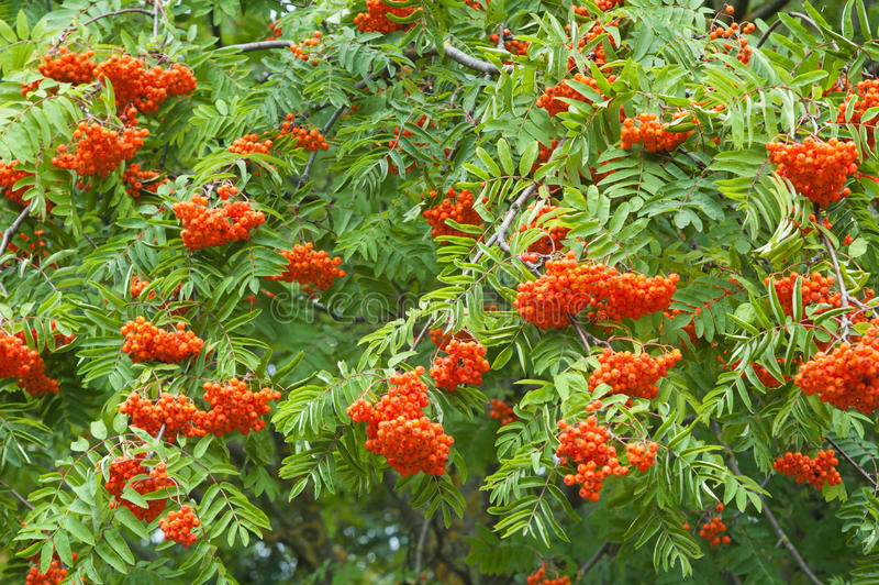 A bunch of red mountain ash stock photo