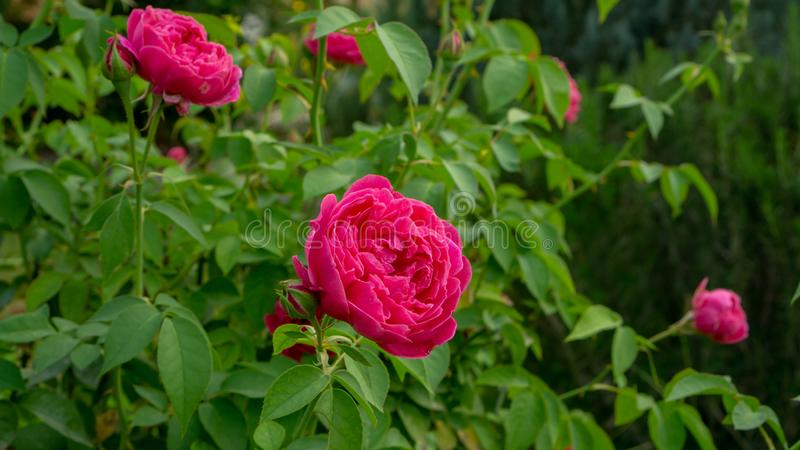 Bunch of red petals roses blossom on green leaves on blurred background stock images