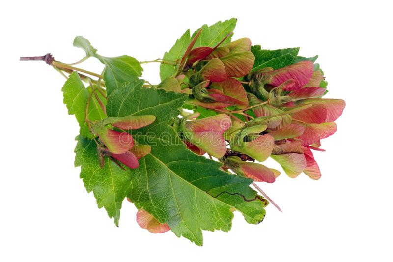 Bunch of red real  wild unripe  forest  maple  seeds on twigs with spots and dots isolated stock photos