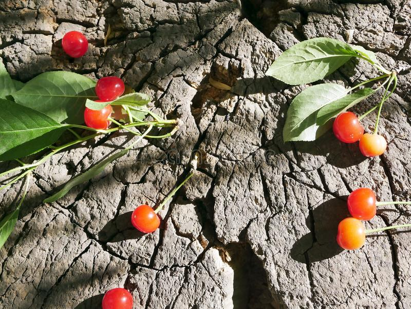 A bunch of red ripe cherries on a background of a cut of a tree stock images