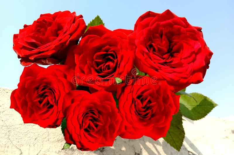 Bunch of red rose background. royalty free stock photography