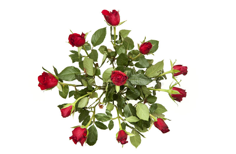 Bunch of red roses royalty free stock photography