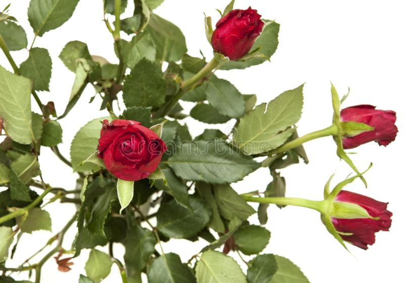 Bunch of red roses on white background royalty free stock photography