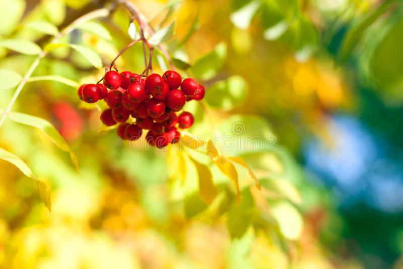 Bunch of red rowan berries on yellow, blue and green autumn leaves bokeh background closeup stock photo