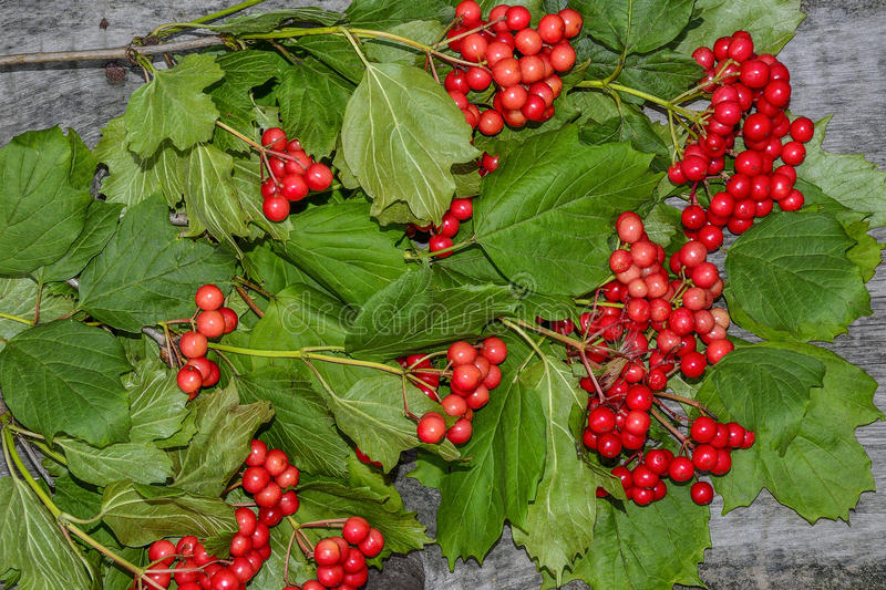 Bunch of red viburnum with green leaves on wooden background royalty free stock images