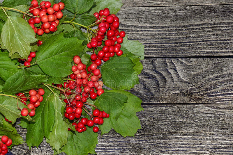 Bunch of red viburnum on old wooden background stock images