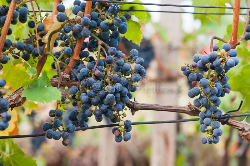 Bunch of red wine grape Cabernet Sauvignon stock photos